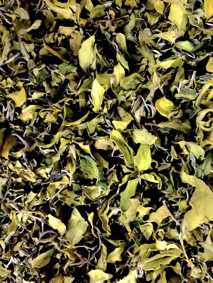Teeblätter der Teepflanze