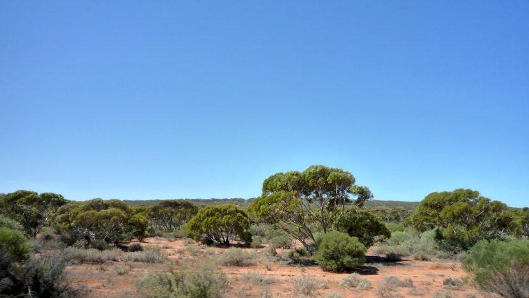 Tee im Schatten des Eukalyptus